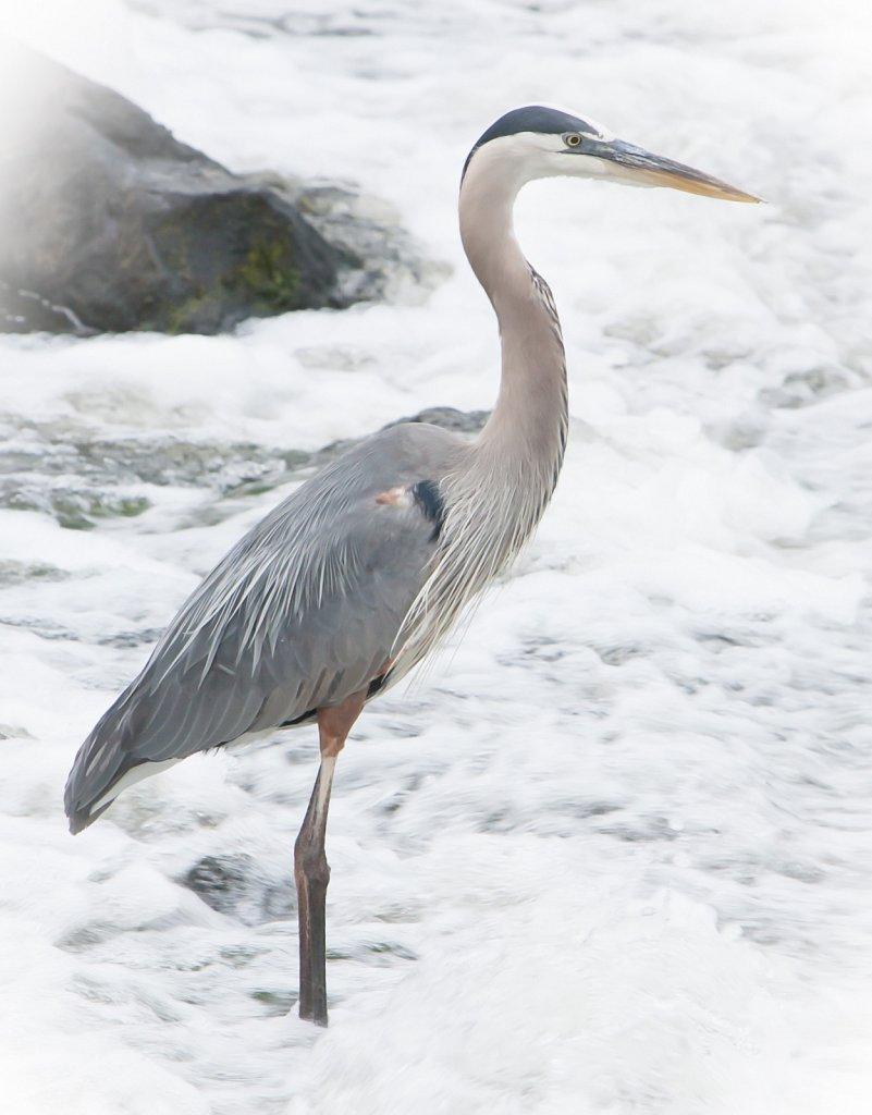 Heron-3838.jpg
